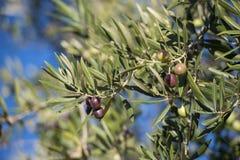 Оливки на оливковом дереве в осени. Изображение природы сезона Стоковые Фото