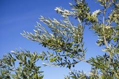 Оливки на оливковом дереве в осени. Изображение природы сезона Стоковые Фотографии RF