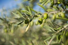 Оливки на оливковом дереве в осени. Изображение природы сезона Стоковая Фотография
