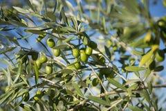 Оливки на оливковом дереве в осени. Изображение природы сезона Стоковое Фото