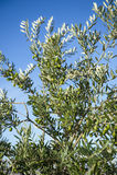 Оливки на оливковом дереве в осени. Изображение природы сезона Стоковые Изображения