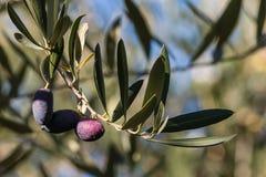 Оливки Kalamata на ветви оливкового дерева Стоковая Фотография RF