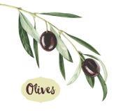 Оливковая ветка акварели черная бесплатная иллюстрация