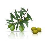Оливковая ветка с плодоовощами и отражением иллюстрация вектора