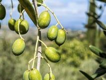 Оливковая ветка Стоковое фото RF