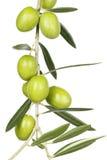 Оливковая ветка Стоковые Изображения