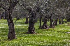 Оливковая роща весной Стоковые Изображения