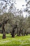 Оливковая роща весной Стоковые Фотографии RF
