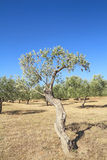 Оливковая роща в Греции Стоковые Фото