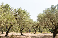 Оливковая роща в солнечной Южной Европе стоковое фото