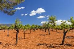Оливковая роща, Мальорка Стоковое фото RF
