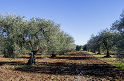 Оливковая роща Стоковое Изображение
