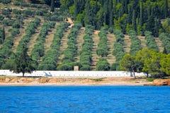Оливковая роща стоковое фото