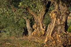 Оливковая роща стоковое фото rf