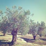 Оливковая роща Стоковые Фото