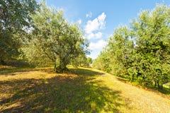 Оливковая роща стоковые изображения