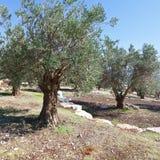 Оливковая роща стоковые изображения rf