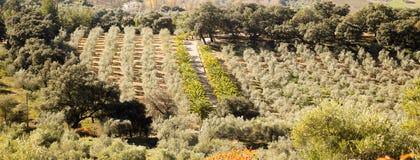 Оливковая роща Ronda Стоковые Фотографии RF