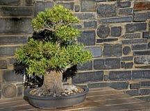 Оливковое дерево бонзаев Стоковые Фотографии RF