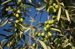 оливковое дерево ветви Стоковое Фото