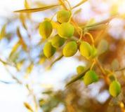 оливковое дерево ветви Стоковые Фото