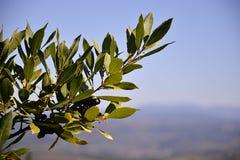 оливковое дерево ветви Стоковые Фотографии RF