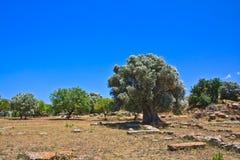 Оливковое дерево в Агридженте - долине висков Стоковое фото RF
