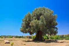 Оливковое дерево в Агридженте - долине висков Стоковые Изображения