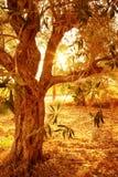 Оливковое дерево в осеннем саде Стоковая Фотография RF