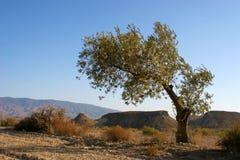 Оливковое дерево в пустыне Стоковая Фотография
