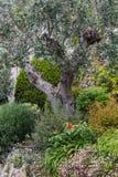 Оливковое дерево в саде стоковые изображения