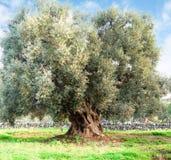 Оливковое дерево в сельской местности apulia Стоковое Изображение RF