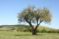 Оливковое дерево в луге зеленой травы Стоковое фото RF