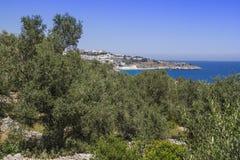 Оливковое дерево и морское побережье Стоковые Фотографии RF