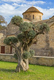 Оливковое дерево на предпосылке Kiti Ларнаке Кипре церков Panagia Angeloktisti стоковое фото rf