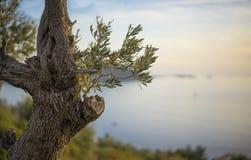 Оливковое дерево над Kas, Турцией Стоковая Фотография RF