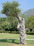 Оливковое дерево необыкновенной формы Стоковое фото RF