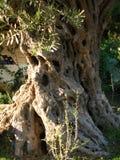 Оливковое дерево, побережье Эгейского моря Турции Стоковое фото RF