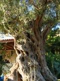 Оливковое дерево, побережье Эгейского моря Турции Стоковое Фото