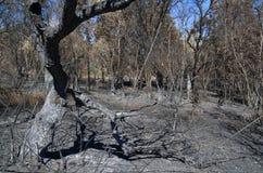 Оливковое дерево сгорело и сломанный лесным пожаром - Pedrogao большим Стоковая Фотография RF