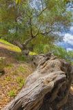 Оливковое дерево столетий старое Стоковое Фото