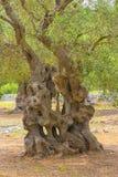 Оливковое дерево столетий старое Стоковое фото RF