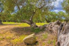 Оливковое дерево столетий старое Стоковая Фотография RF
