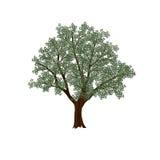 Оливковое дерево с зелеными листьями иллюстрация штока