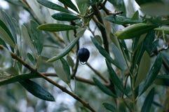 Оливковое дерево с красивым цветом Стоковое Изображение
