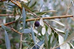 Оливковое дерево с славным цветом Стоковые Изображения