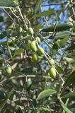 Оливковое дерево Тосканы Стоковые Фотографии RF
