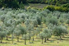 Оливковое дерево Тосканы Стоковое Изображение