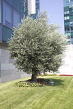 Оливковое дерево стоковые фотографии rf