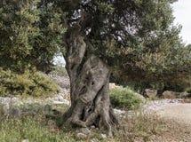 Оливковое дерево #3 Стоковое Изображение RF